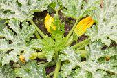 stock photo of marrow  - Organic vegetable marrows grow on a seedbed - JPG