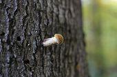 image of fungus  - Single honey fungus mushroom (species Armillaria solidipes syn. Armillaria ostoyae) on bark. ** Note: Shallow depth of field - JPG