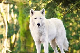 stock photo of lupus  - Arctic White Wolf Canis lupus arctos aka Polar Wolf or White Wolf - JPG