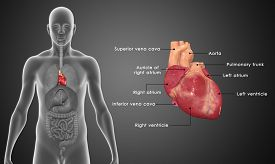 foto of human-rights  - The human heart is a vital organ that functions as a pump - JPG