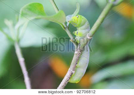 Green caterpillar Insects