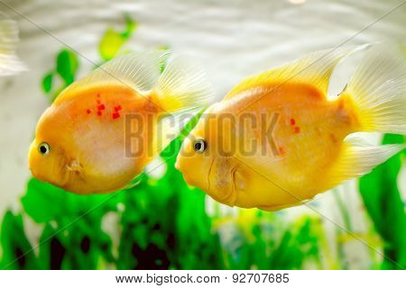 Beautiful Aquarium Fish Amphilophus Citrinellus