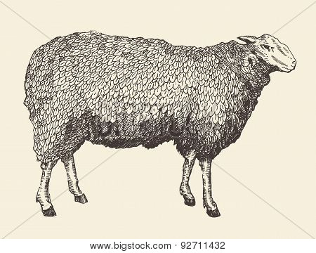 Sheep Intage Vector Illustration of Engraving