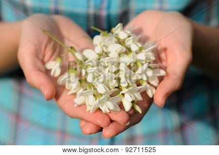 Wild Acacia Flowers In Girl's Hands