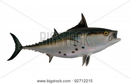 Bonito Fish Mount
