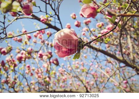 Flower Of Magnolia Tree In Springtime
