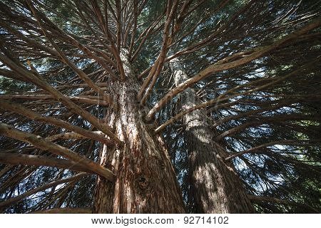 Sequoia tree branches