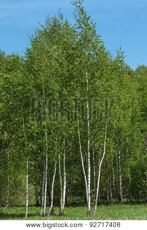 Birch Grove Leaves Summer
