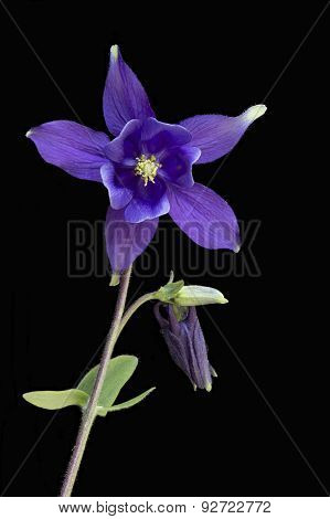 Aquilegia Flowers Isolated On Black Background
