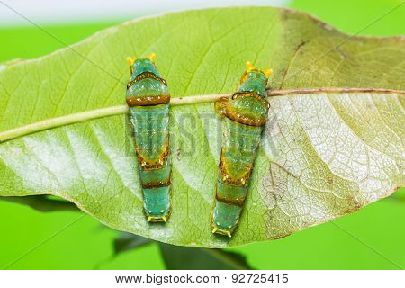 Banded Swallowtail Caterpillars