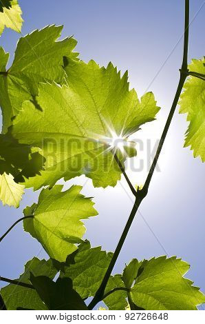 Grapes Are Filled With Sunshine.