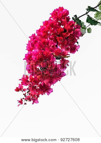 Bougainvillea Isolated On White Background