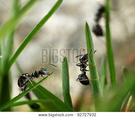 Black Ants Invasion Conquering Garden