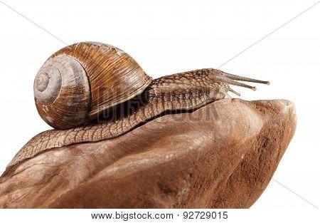 Roman Snail On Stone