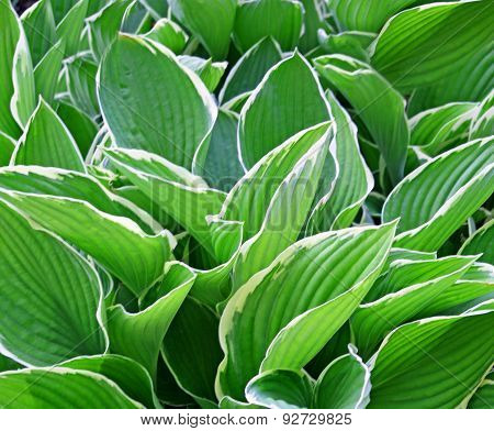 Thick lush green leaves of the Hosta plant  - a garden favorite