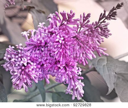 Fragrant purple spring Lilacs - fading to soft gray background