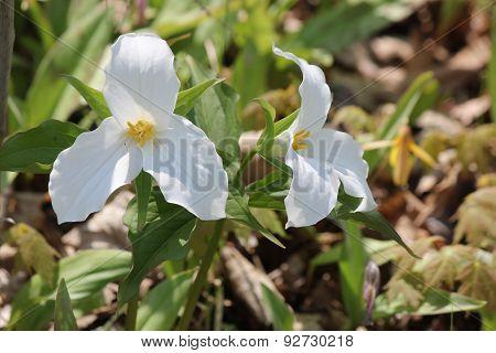 Trillium-grandiflorum (White)