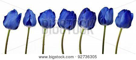 Dewy blue tulips