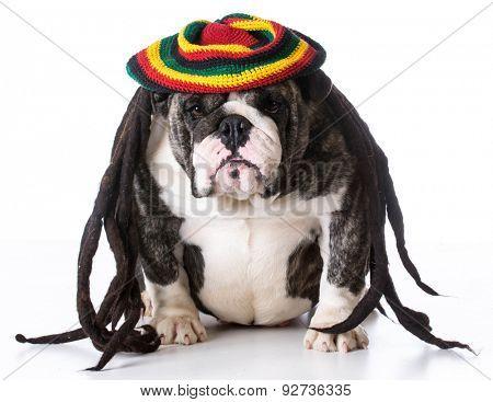 funny dog wearing dreadlock wig on white background - bulldog