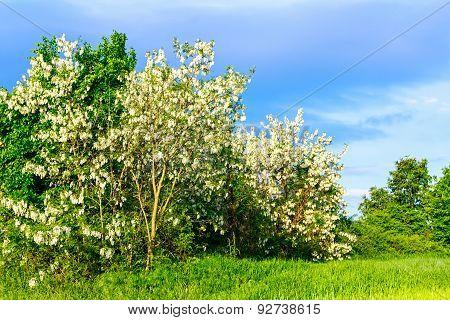 Acacia In Blooming, Bush