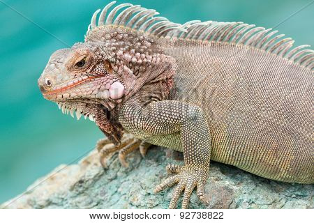 Close-up of a male Green Iguana (Iguana iguana)