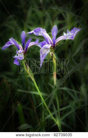 Stylish Purple Iris Flower