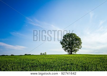 Lonely Big Tree