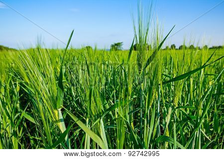 Barley Field Of Green Wheat Close Up