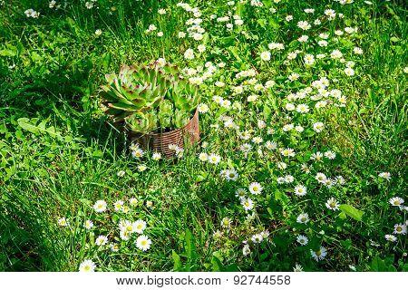 Crassulaceae And White Daisies In A Garden Background