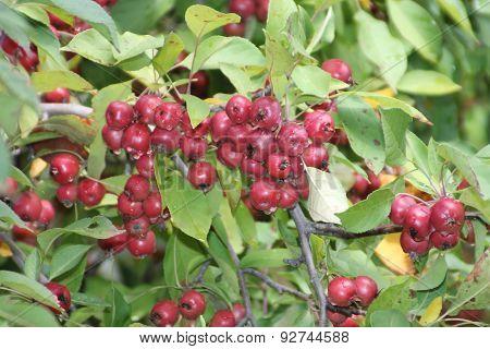Crabapples-Red