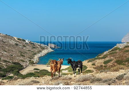 Greek Black And Red Goats Are Standing At Dryland Pasture And Blue Sea On Kalymnos Island