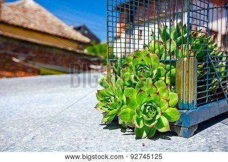 Crassulaceae Escape From The Birdcage