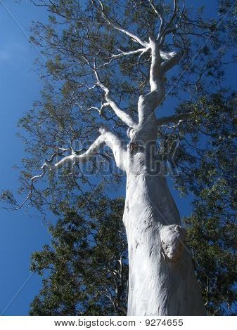 Ghost Gum Tree