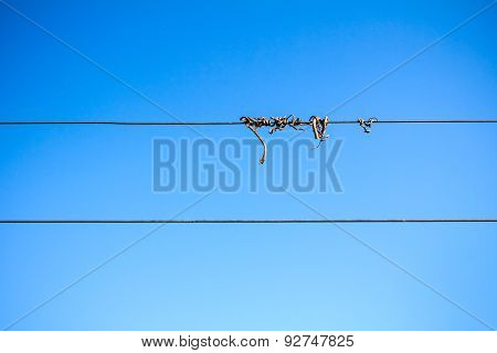 Dry Vine Tendril On Wire