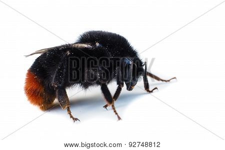 Orange And Black Colored Bumblebee Isolated On White