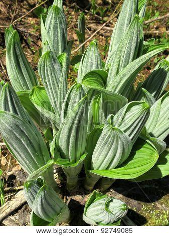 False Hellebore Sprouts - Veratrum viride