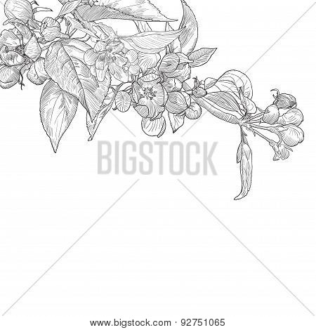 Vintage hand drawn blooming apple tree twig isolated on white.