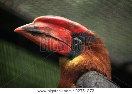 Rufous hornbill (Buceros hydrocorax), also known as the Philippine hornbill.