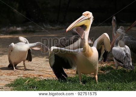 Great white pelican (Pelecanus onocrotalus).