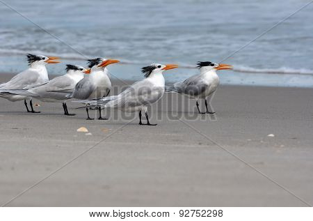 Royal terns with winter plumage on a beach