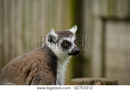 Close Up Profile Of Ring-tailed Lemur Face. Horizontal.