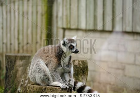 Ring Tailed Lemur Sitting On Top Of A Tree Stump In Captivity. Horizontal.