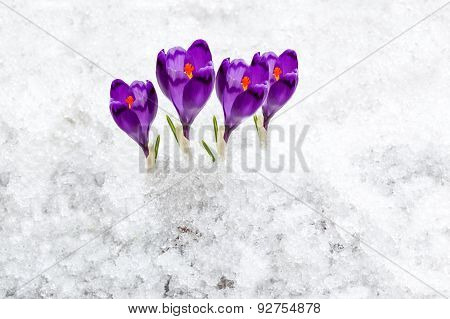 forest, nature, beauty, crocus, purple, spring, saffron, crocus, purple, spring, saffron, flower