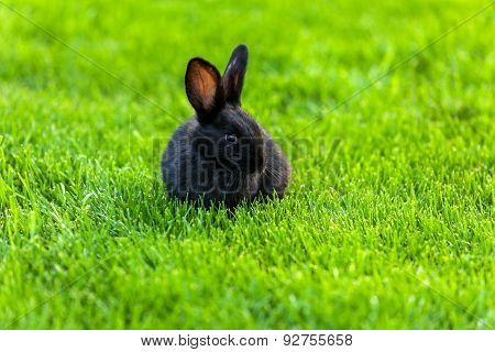 Black Rabbit, Rabbit on the lawn Rabbit on the green grass, a frightened rabbit, rabbit and child
