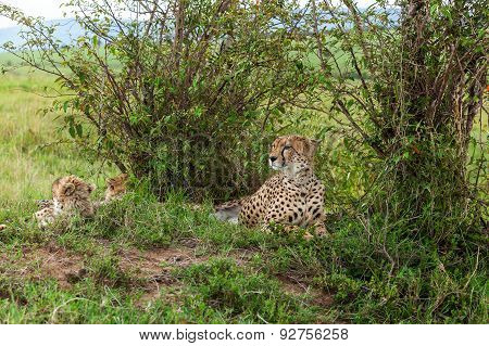 Cheetah with cub in Masai Mara, cheetah, safari,nature, kenya, national