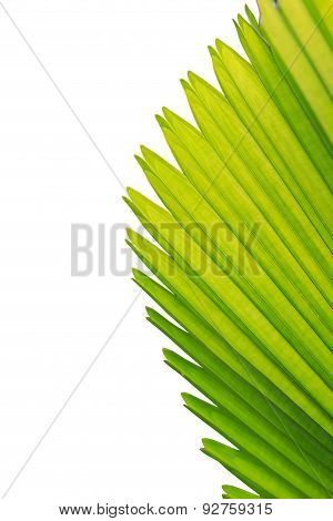 Close Up Texture Of Green Palm Leaf Isolated On White