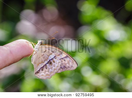 Common Yeoman Butterfly Hanging On Finger