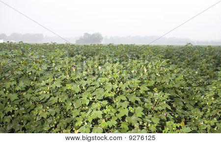 Floraciones de algodón mojado
