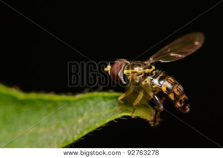 Tiny Syrphid Hover Fly