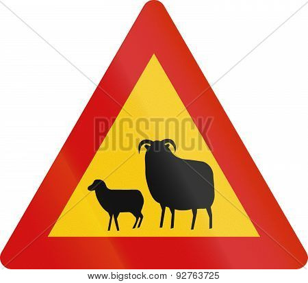 Sheep Crossing In Iceland